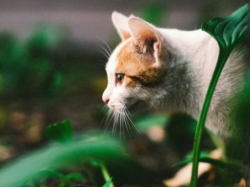 Les chats reconnaissent leur prénom même s'ils prétendent le contraire - psychologie, animaux - Université Sophia, science, Rodentia, Recherche scientifique, Race (chat), psychologie, prénom, Mot, Language, intelligence, Homo sapiens, Felidae, Domestication, corps, comportement, cognition, chien, attention